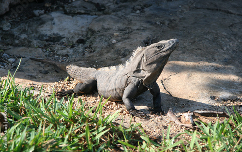 Huge Iguana sunbathing