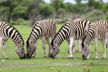 Zebras feeding with gras
