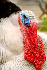 Head of a Domestic Turkey