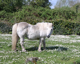 White Pony in a Field of Daisies poster