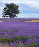 lavender field-