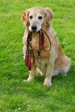 Golden retriever and he leash poster