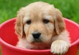 Beauty puppy in red bucket – Golden retriever poster