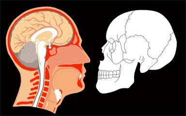 cerveau humain - crâne et vue en coupe