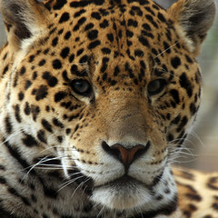 Closeup Of Jaguar