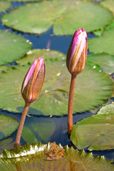 pond lily flowers