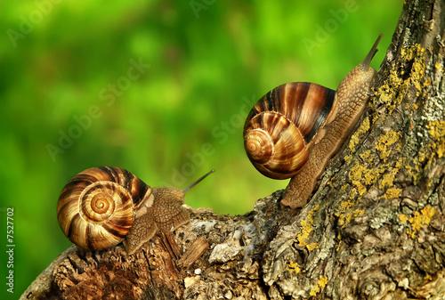 Two grape snails