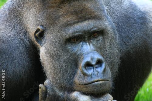 Foto op Canvas Aap gorilla