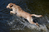 Golden labrador retriever dog jumping into the water poster