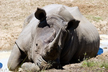 rhino at rest