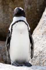 south african pinguin