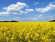 COLZA, RAPE FIELD