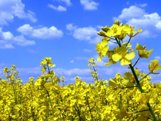 Rape field, Colza