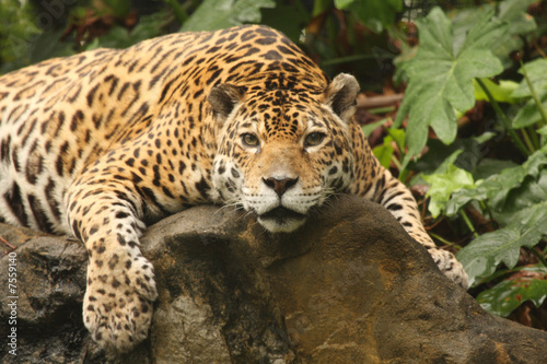 A photo of a male jaguar