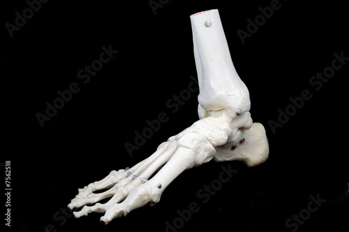 skeletal foot model