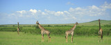 Panoramic view of four symmetrical giraffe