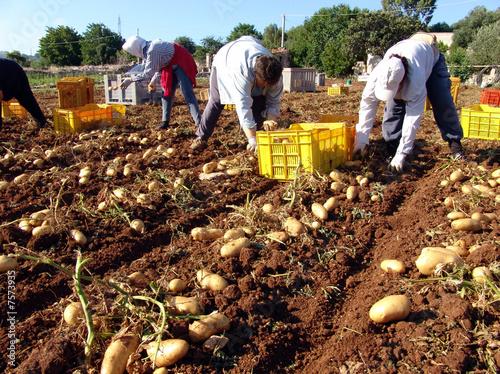 Raccolta patate di carlo burelli foto stock royalty free for Raccolta patate