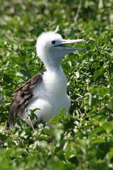 Blue-footed Booby Chick, Galapagos