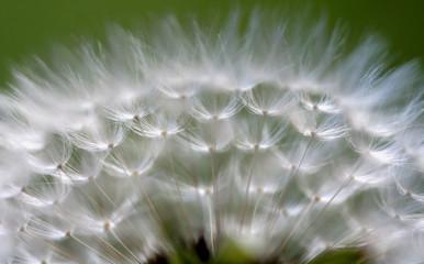 Schirmwelt-Pusteblume