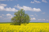 Yellow rape field and lonely tree poster