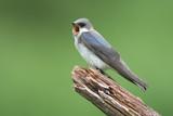 Female Tree Swallows (tachycineta bicolor) calling on a stump poster