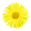 Head of gerber daisy