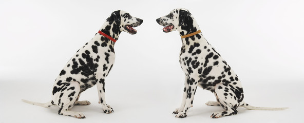 Dalmatians Face to Face