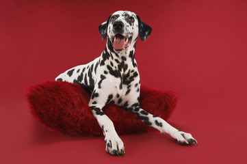 Dalmatian crouching on cushion
