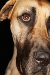 Brazilian mastiff Fila Brasileiro, close-up