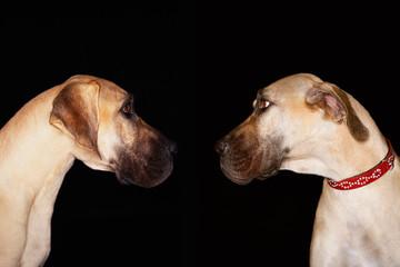 Two Brazilian mastiffs Fila brasileiro sitting face to face