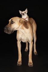 Chihuahua riding on Brazilian mastiff Fila brasileiro
