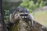 Common Raccoon Procyon lotor poster