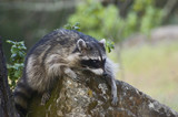 Common Raccoon Procyon lotor2 poster