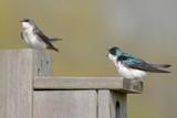 Pair of Tree Swallows (tachycineta bicolor) on a bird house poster