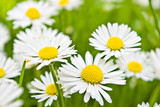 few daisies flowers poster