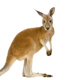 Young red kangaroo (9 months) - Macropus rufus