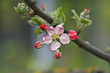 canvas print picture Apple flower