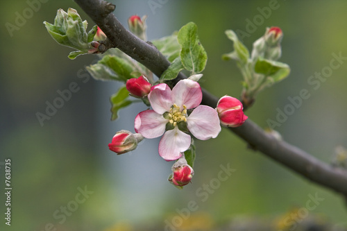 Leinwandbild Motiv Apple flower