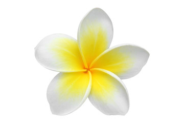 Frangipani(plumeria) flower isolated on white