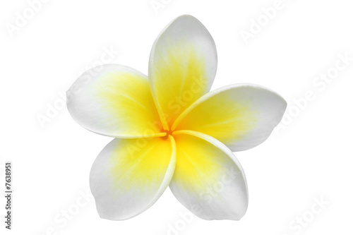 Canvas Plumeria Frangipani(plumeria) flower isolated on white