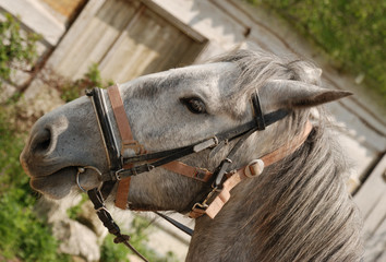 horse of grey colour