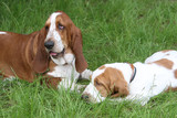 two brown puppies Basset Hound poster
