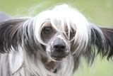 Chinese crested dog Hairless dog poster