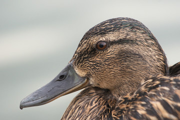 Wild duck close up