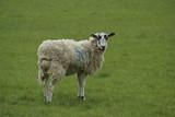 ewe in field/ farm poster