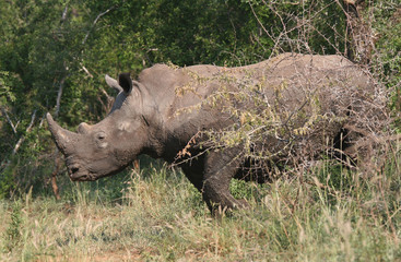 Rhino coming from the bush