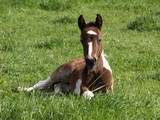 Skewbald Foal laying down