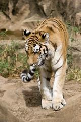 bengal tiger walking toward camera