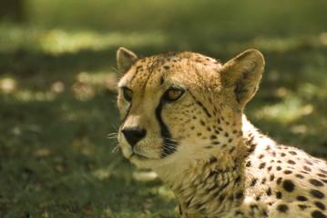 Close-up of Cheetah (Acinonyx Jubatus)