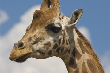 Close-up of Rothschild Giraffe (Giraffa Camelopardalis Rothschil